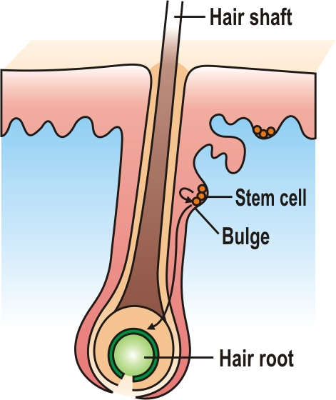 root hair cell coloring pages - photo#8